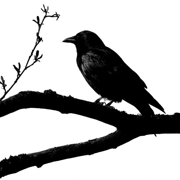 Stanley Park Crow