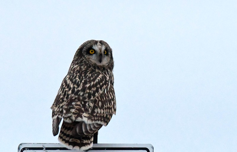 Short-eared Owls -- Asio flammeus, signing on with a poem by Loren Eiseley: