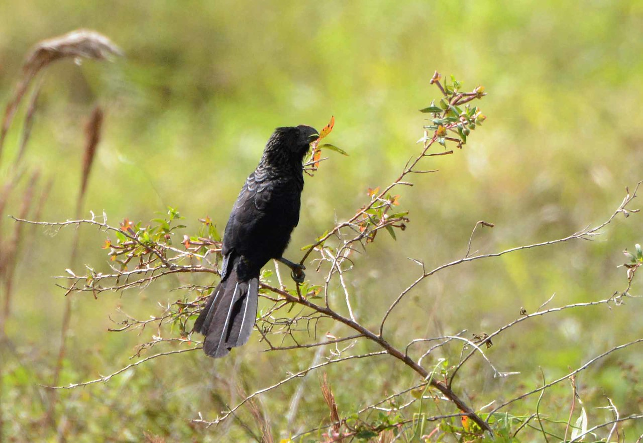 Smooth-billed Ani -- Crotophaga ani, in Hendry County FL with a poem by W. S. Merwin: