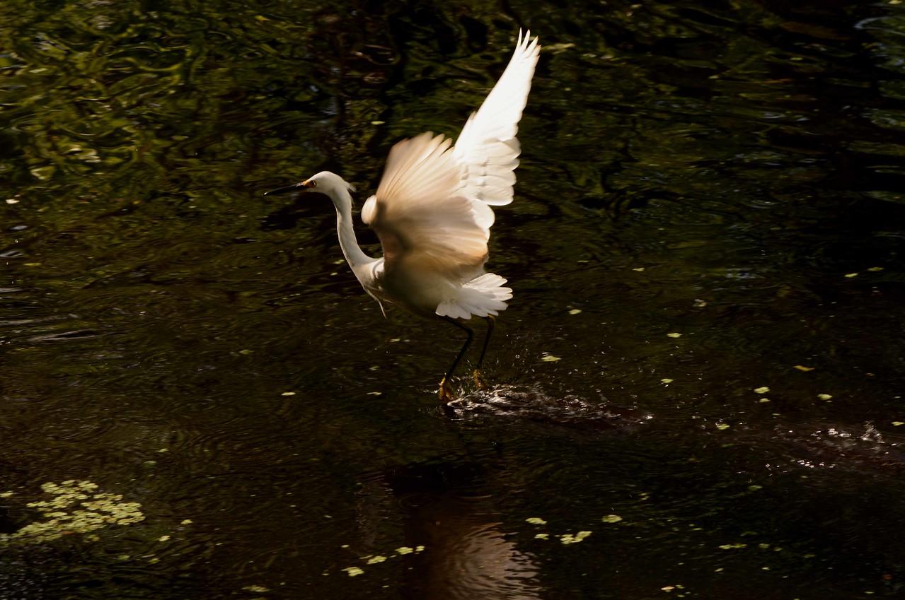 Snowy Egrets -- Egretta thula, demonstrate fishing skills unique to FL dry season kettling: