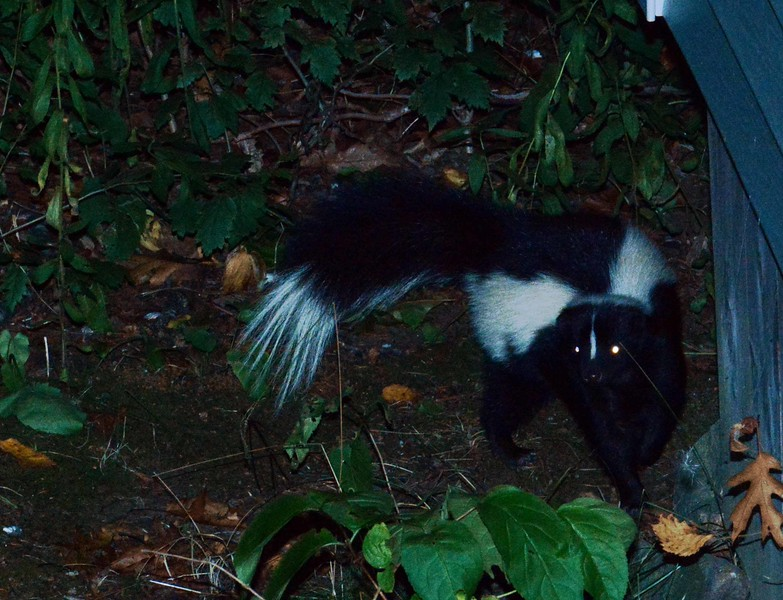 Striped Skunk -- Mephitis mephitis, with a poem by Denise Levertov: