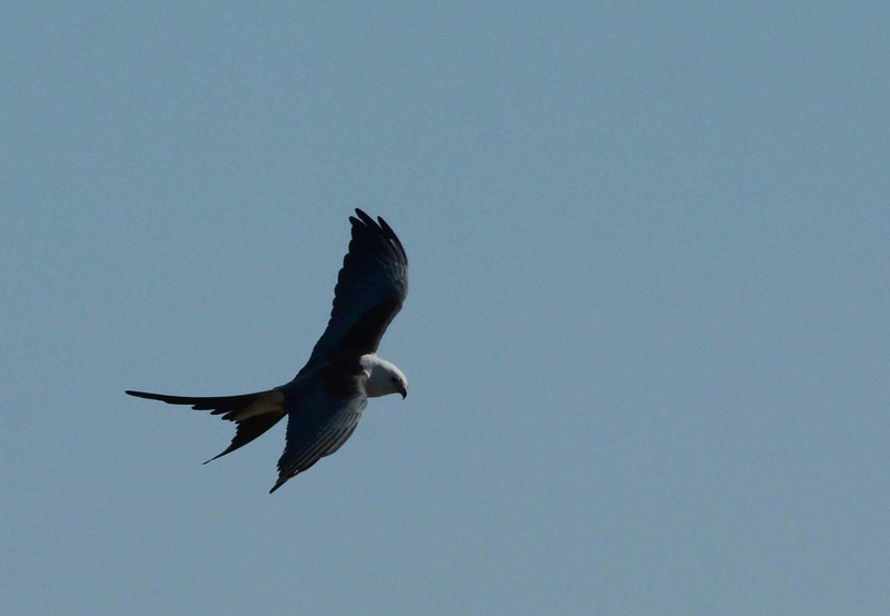 The Swallow-tailed Kite -- Elanoides forficatus, is certainly one of the more graceful birds of prey.