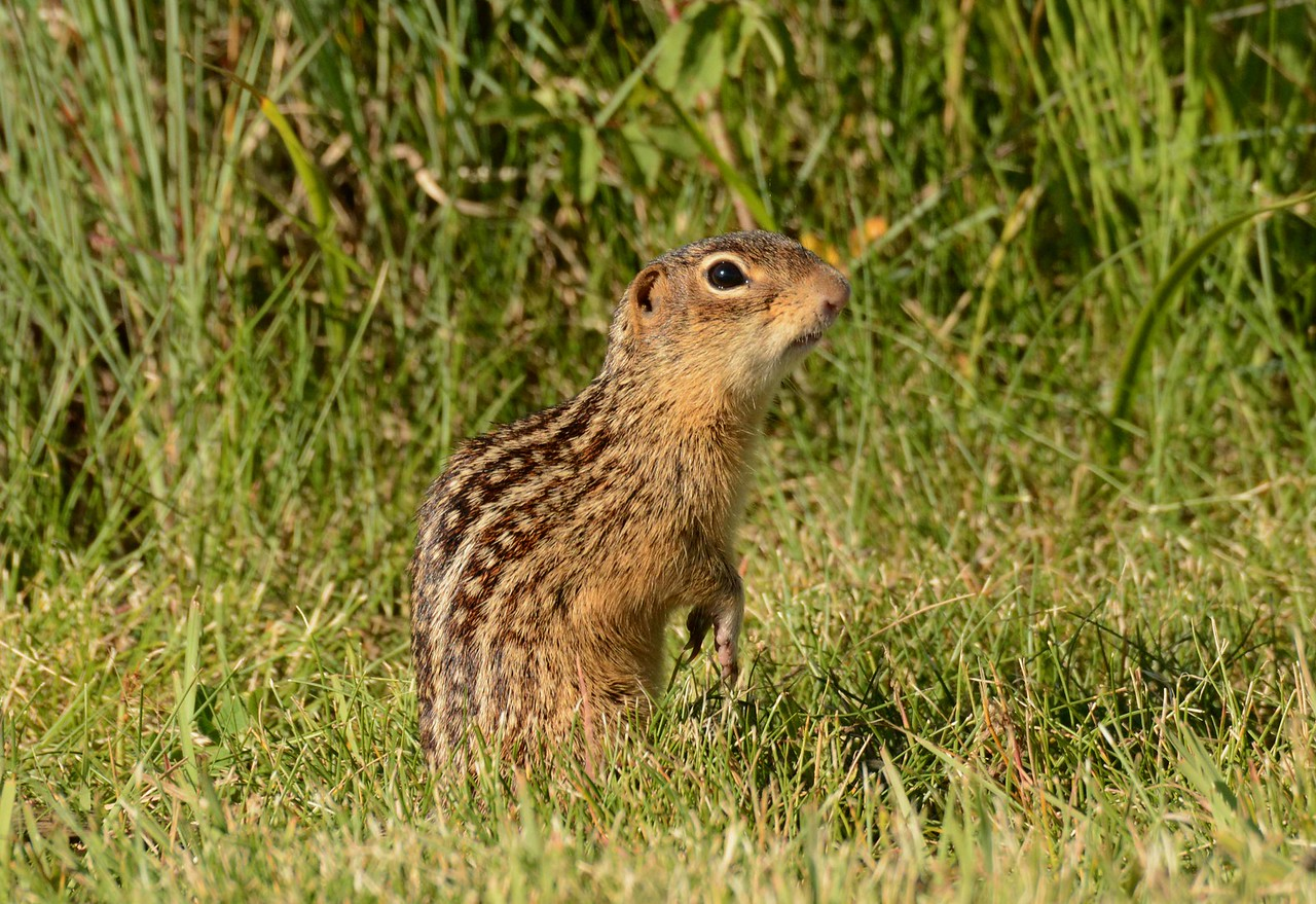 Thirteen-lined Ground Squirrels -- Spermophilus tridecemlineatus, spend a significant portion of the year hibernating below decks.