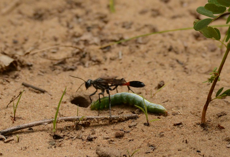 """Thread-waisted Wasp -- Sphecidae family, Ammophila spp., loading immobilized prey into her burrow and concealing the nest, with """"The Mother"""" by Ruth Stone:"""
