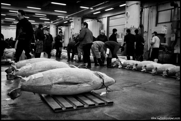 Display & Fish Inspection at Tsukiji Tuna Market Auction, Tokyo,2014