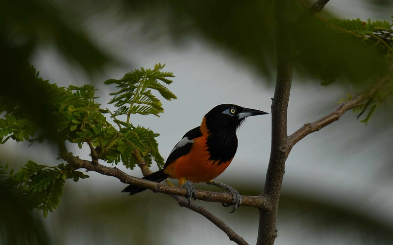 "This series features the Venezuelan Troupial -- Icterus icterus, and a poem by George Santayana, ""To a Pacifist Friend"":"