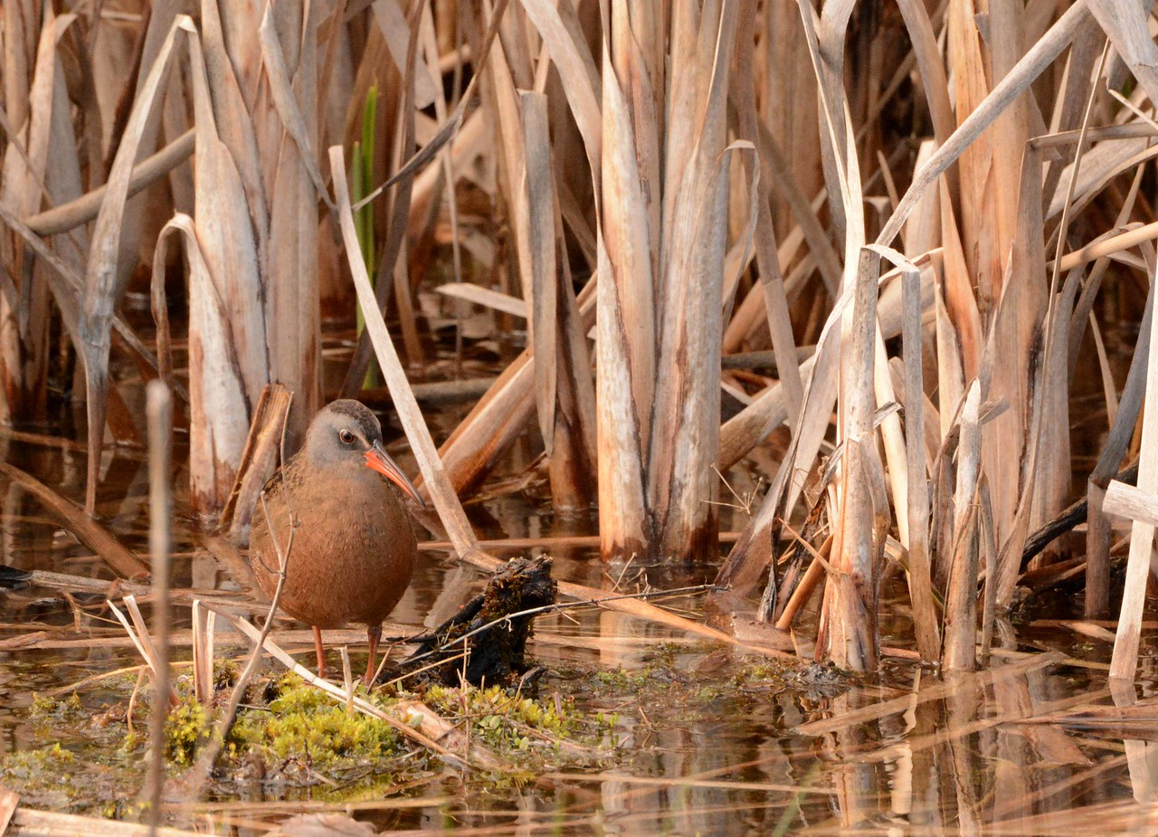 This series features the Virginia Rail -- Rallus limicola