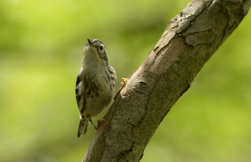 "Wood Warblers, by the grace of this living world, with ""Kilmeny"" by James Hogg:"