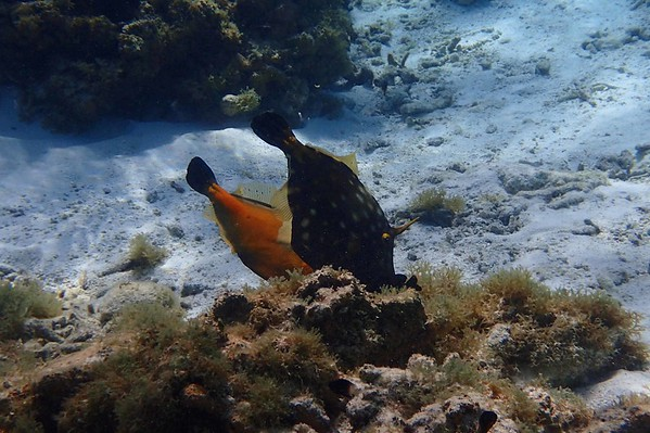 Whitespotted Filefish -- Cantherhines macrocerus, browse with Wordsworth: