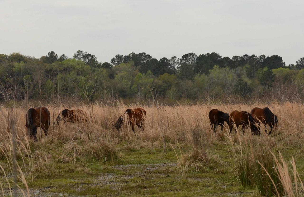 """'...Florida has flourished, agriculture the source<br /> To think it all started with the Conquistadors<br /> Who left livestock running wild on the shores<br /> And the most valuable treasure -- the Cracker Cow Horse' ~ from """"The Cracker Horse"""" by Terry James Swett"""