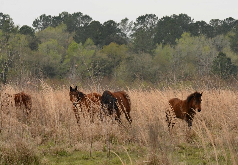 These horses are a living piece of Florida history once vital for agriculture, ranching, the Seminole, and both gray and blue forces during the Civil War.