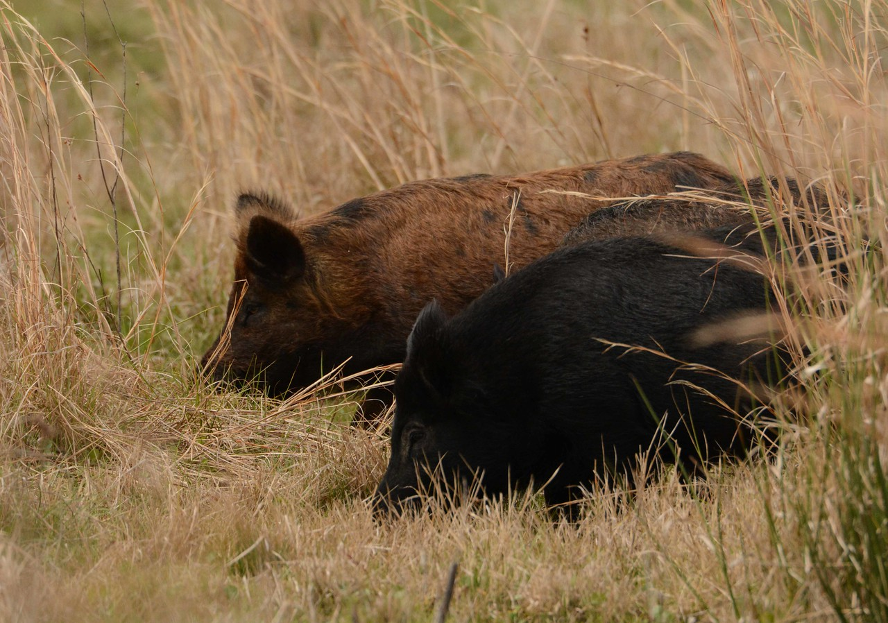 We were joined by three wild pigs -- Sus scrofa, and for a while did not want to surrender the privilege of Cracker company in the prairie named for King Payne.