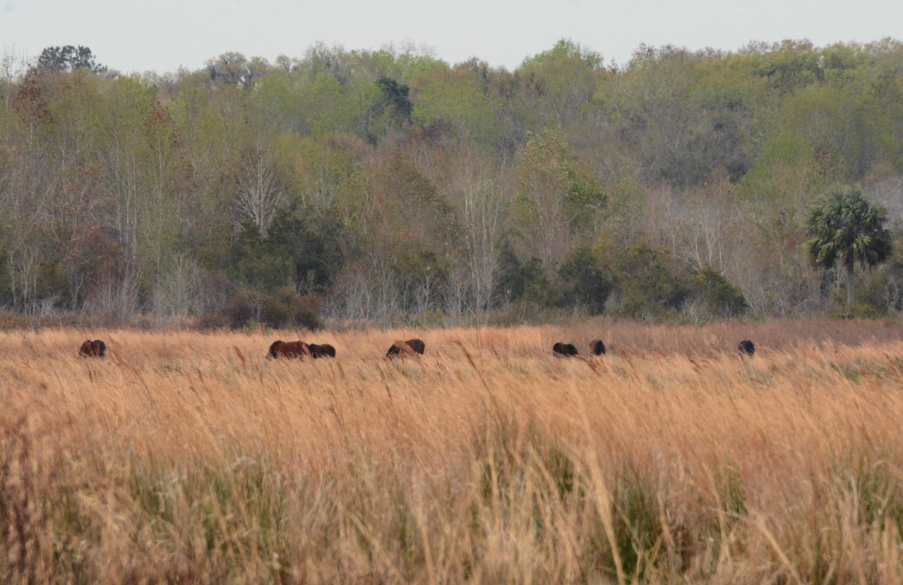 """This encounter features a band of seven """"Cracker"""" horses -- Equus caballus, in Paynes Prairie SP, Alachua County, FL. Crackers are descendants of Spanish horses that arrived with Ponce de Leon in 1521."""