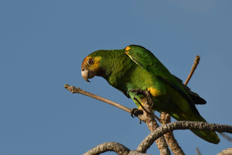 "This series features the 'Lora' or Yellow-shouldered Amazon -- Amazona barbadensis, and ""The King and Seer"":"