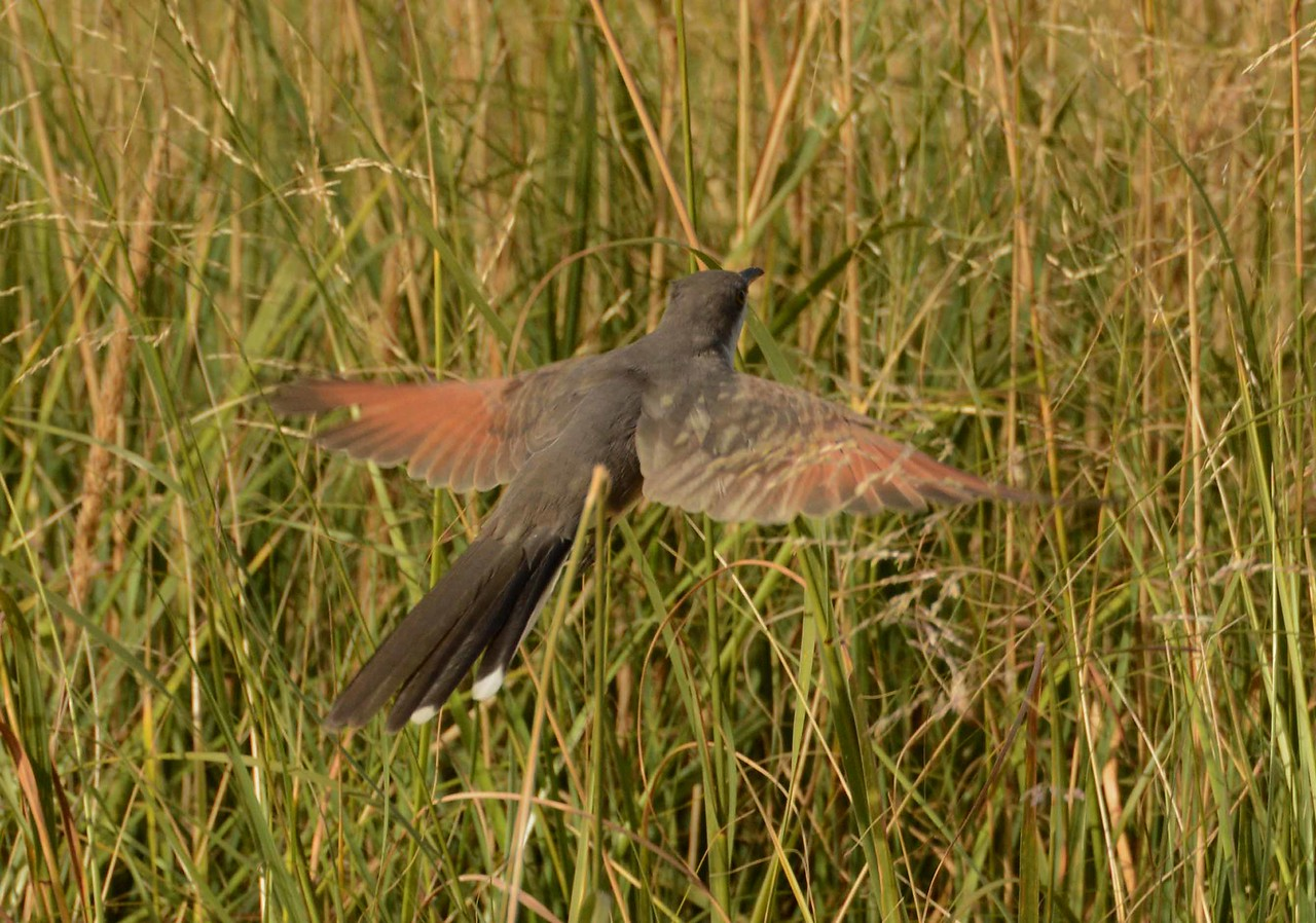 """This series features a Yellow-billed Cuckoo -- Coccyzus americanus, on a migratory stopover in the """"Magic Hedge"""" in Chicago, and a poem by Denise Levertov:"""