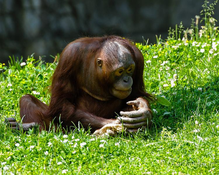 Dublin ZOO: Bornean orang-utans