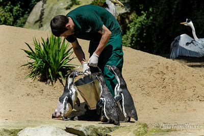 Hranirea pinguinilor