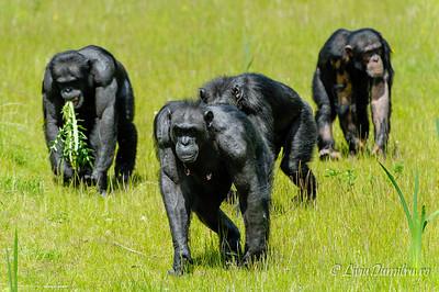 Grup de cimpanzei
