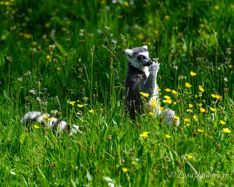 Dublin ZOO: Ring-tailed lemurs