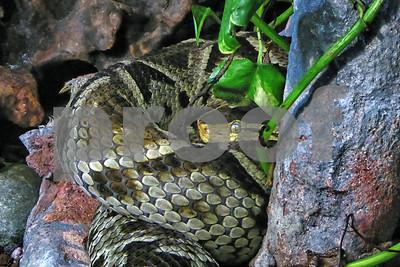 P1090931 Rattlesnake in leaves best wm