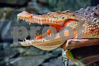 DSC_9019 Nile Crocodile Smile best wm