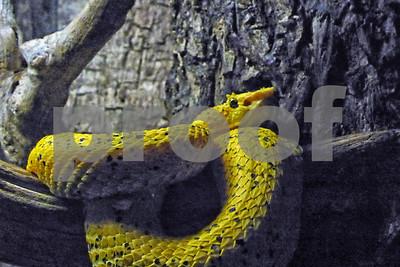 P1090953 Yellow Eyelash Viper CU