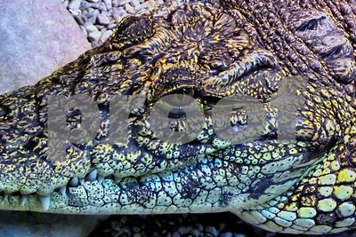 P1090906 Crocodile Smile CU