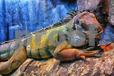 P1090965 Green Iguana ftb