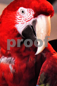 P1090849 XCU Red Macaw ptcc best wm