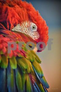 DSC_8979 Red Macaw Preening best wm