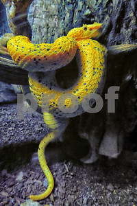 P1090938 Yellow Eyelash Viper VT best