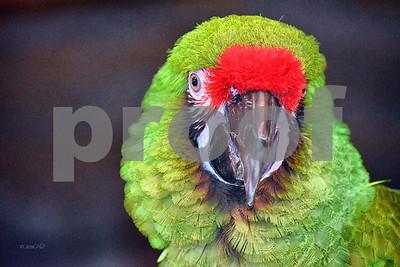 DSC_8774 Green Macaw CU best wm