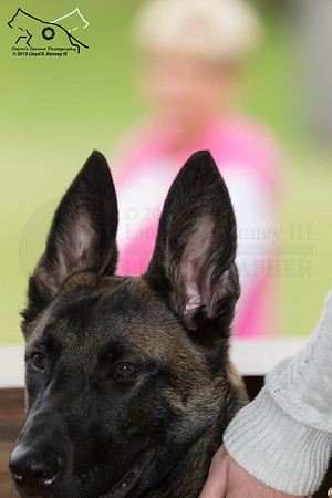 A young Belgian Malinois Puppy