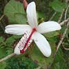 Native hibiscus (Hibiscus waimeae subsp. waimeae)