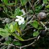 Native gardenia, nanu (Gardenia brighamii)