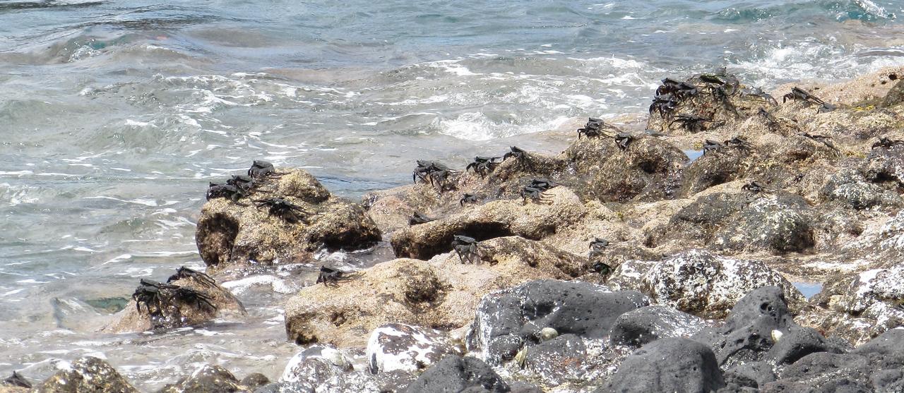 The shoreline at Pohaku Paea was crab heaven today.
