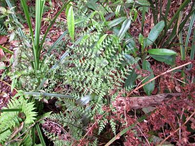 Probably Dryopteris glabra (Kilau, hohiu) - Thanks Forest & Kim!
