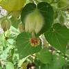 Abutilon eremitopetalum, hidden-petal abutilon, a lei material.