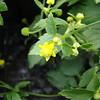 An endemic buttercup, Ranunculus hawaiensis