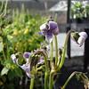 An endemic violet
