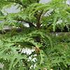 Cyanea duvalliorum