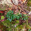 Yet another Peperomia. This one is tiny - notice that it's not so many times bigger than the mosses around it.