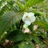 """We were so lucky to see some ha`iwale (Cyrtandra hashimotoi) flowering. Its Hawaiian name means """"easily broken""""."""