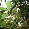 'Alani (Melicope culsifolia)