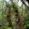 'Ōhi'a kū (Hymenophyllum recurvum) (Mecodium recurvum) growing up a tree. The fronds are translucent.