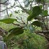 'Alani (Melicope volcanica).