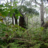 The Waikemoi is a magical place. ʻĀkala (foreground upper left) grows well overhead here. The ferns are waist high. Häpu'u with koa and 'ohi'a.