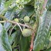 Kauila seed pods