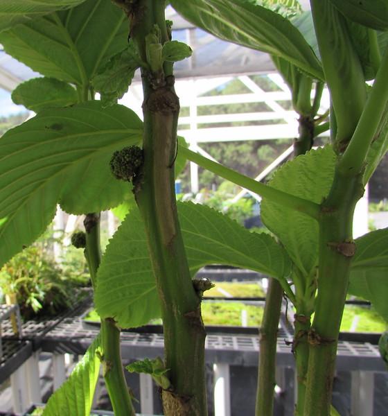 "Olonā, Touchardia latifolia, was an important source of fiber. See <a href=""http://en.wikipedia.org/wiki/Touchardia_latifolia"">http://en.wikipedia.org/wiki/Touchardia_latifolia</a>"