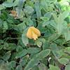 Nanea, (more than one species of related plants were called nanea) Vigna o-wahuensis